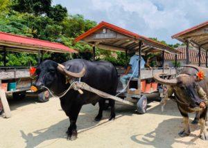竹富島水牛